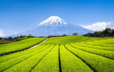 茶畑屋 大芳産業 富士山麓の「やぶきた茶」について